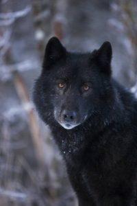 wolf-romeo-blick-traurig