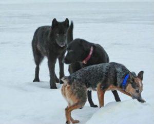wolf und hunde romeo